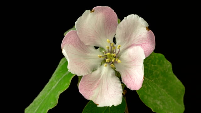 quince flower blooming in a one axis motion time lapse 4k video against black background. - quince stock videos & royalty-free footage
