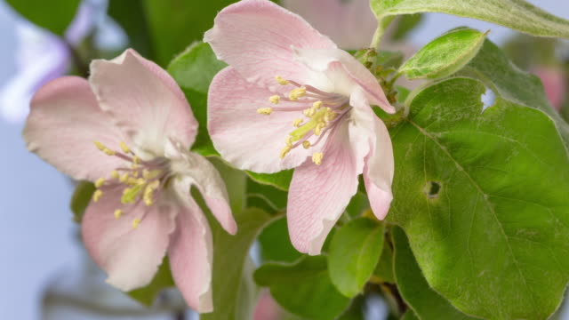 quince flower blooming in a time lapse 4k video against white background. - pistil stock videos & royalty-free footage