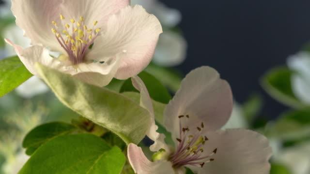 vídeos de stock e filmes b-roll de quince flower blooming in a time lapse video against black background. - pistilo