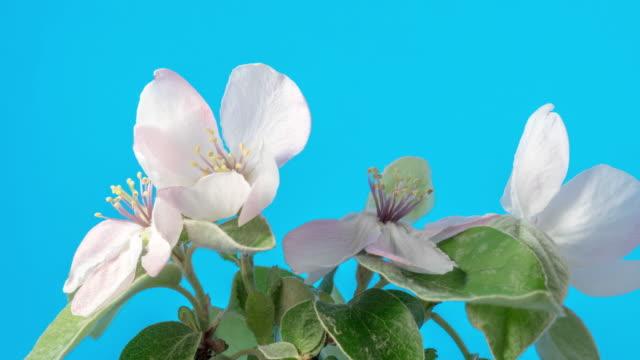 vídeos de stock e filmes b-roll de quince flower blooming in a time lapse video against blue background. - pistilo