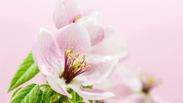 Quince flower blooming in a time lapse video against pink background.