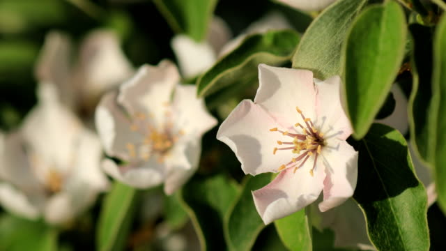quince flower on wind - quince stock videos & royalty-free footage