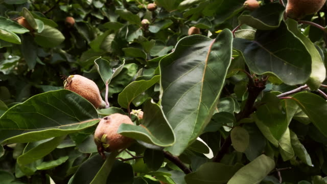 quince fruit on tree branches - quince stock videos & royalty-free footage