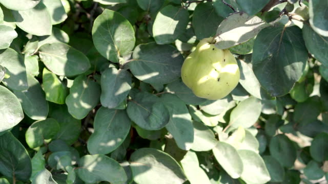 quince fruits hanging on quince tree - quince stock videos & royalty-free footage