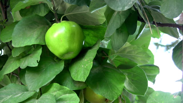 quince tree - quince stock videos & royalty-free footage
