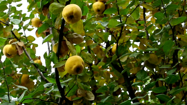 quince - quince stock videos & royalty-free footage