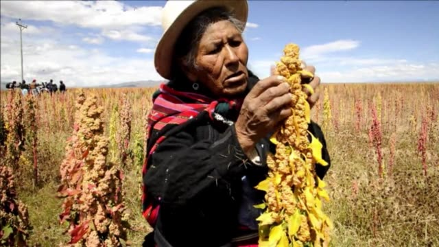 quinoa is a grain thats been eaten as a staple food in the andes ofr centuries now its health benefits have made it fashionable in the west and the... - bolivian andes stock videos & royalty-free footage