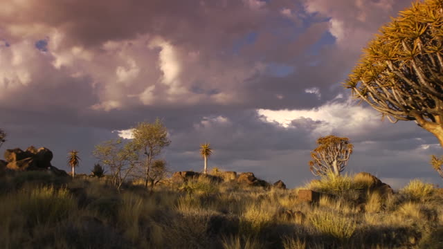 vídeos y material grabado en eventos de stock de aloe dichotoma - desierto del kalahari
