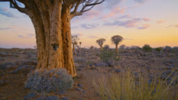MS Quiver trees in remote landscape,Namibia,Africa
