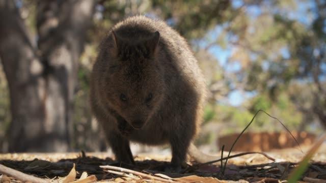 vídeos de stock, filmes e b-roll de quokka - marsupial