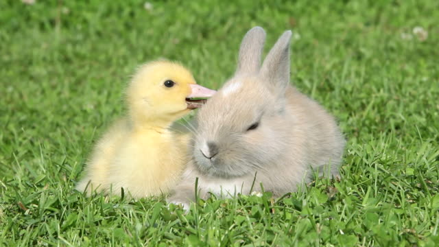 Rabbit and duckling sitting on grass