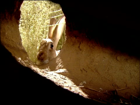 rabbit (oryctolagus cuniculus) appears at burrow entrance, inside pov, andalucia, spain - rabbit animal stock videos & royalty-free footage