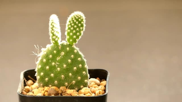 vidéos et rushes de cactus du lapin dans la lumière du soleil chaud - cactus pot