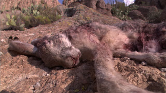 stockvideo's en b-roll-footage met a rabbit carcass lies on a rocky mountain slope. - dood dier