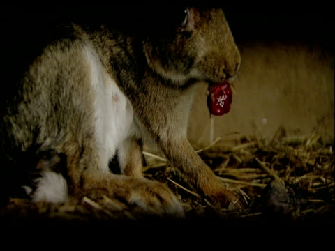 rabbit (oryctolagus cuniculus) eating afterbirth, andalucia, spain - 生殖器点の映像素材/bロール