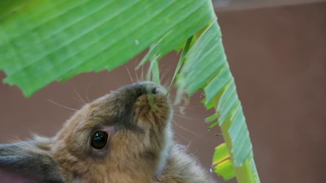 rabbit eating banana leaf - rabbit animal stock videos & royalty-free footage