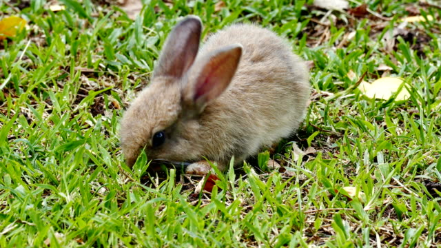 cu, rabbit eating grass and running away - escaping stock videos & royalty-free footage