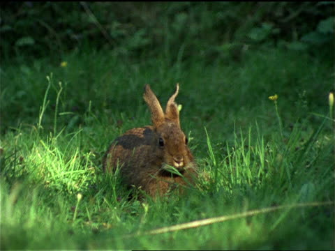 a rabbit eats grass as it watches warily in olympic national park. - zoologia video stock e b–roll