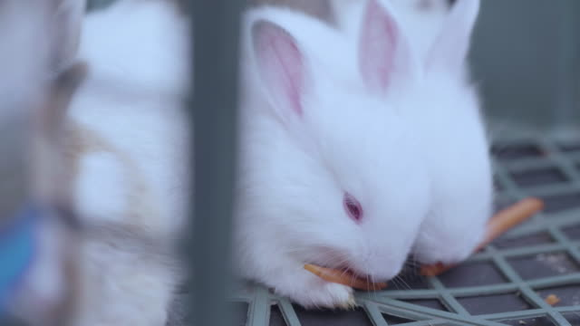 rabbit feeding by carrot - cottontail stock videos & royalty-free footage