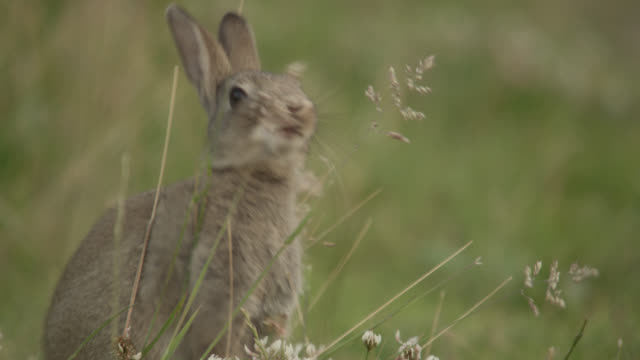 Rabbit (Oryctolagus cuniculus) feeds in meadow, Essex, England