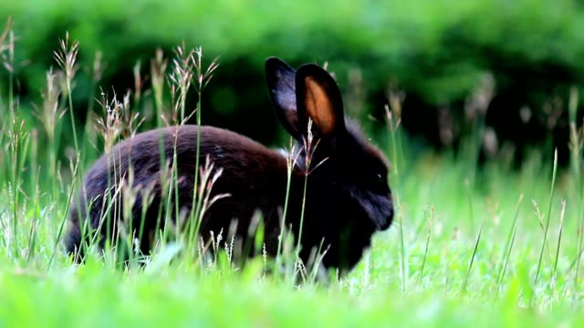 rabbit finding food in the field - cottontail stock videos & royalty-free footage