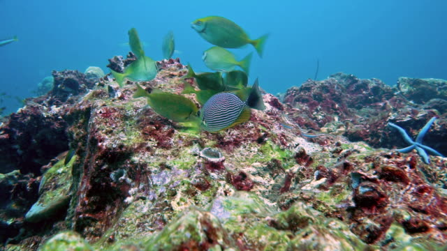 Rabbit fish (Siganus javus) feeding on barren coral reef