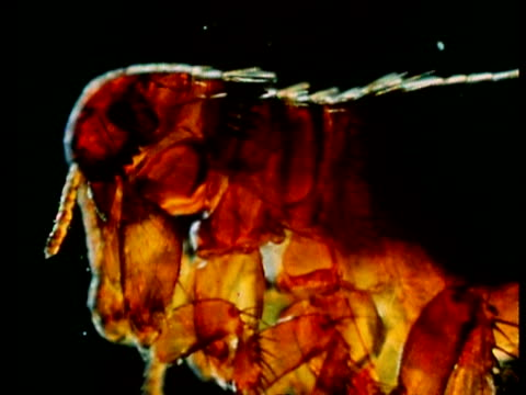 cu rabbit flea track down body - flea insect stock videos and b-roll footage