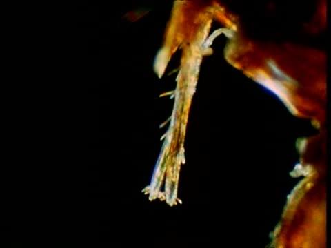 cu rabbit flea's head, cu rabbit flea's foot - gliedmaßen körperteile stock-videos und b-roll-filmmaterial