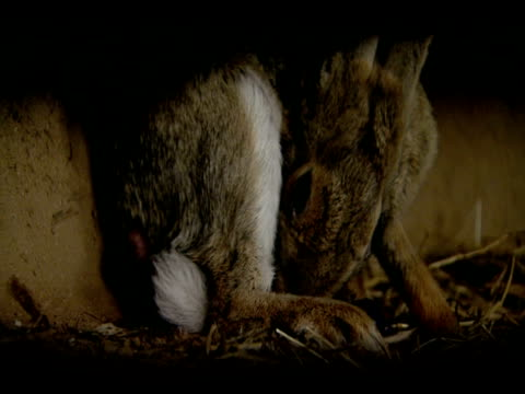 rabbit (oryctolagus cuniculus) giving birth and licking newborn, andalucia, spain - 出産点の映像素材/bロール