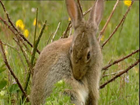 Rabbit grooms in meadow