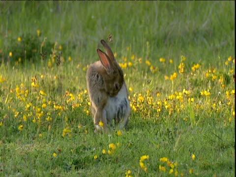 Rabbit grooms itself