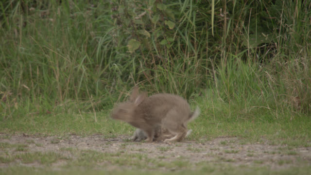 rabbit (oryctolagus cuniculus) leaps and gambols in meadow, essex, england - meadow stock videos & royalty-free footage