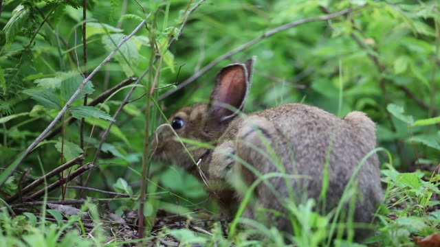 vidéos et rushes de rabbit nibble son forest floor, close up - lapin