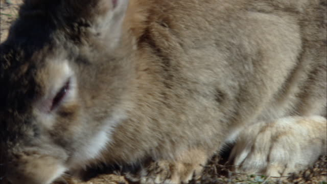 ms cu rabbit nibbling grass sprouts  / doí±ana national park , huelva & sevilla, spain - rabbit animal stock videos & royalty-free footage