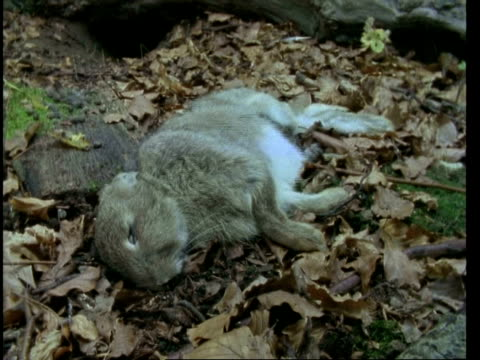 t/l rabbit rot, natural background, decomposition - rabbit animal stock videos and b-roll footage