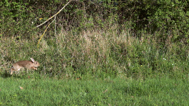 ms slo mo rabbit running through meadow  /vieux pont en auge, normandy, france - rabbit animal stock videos & royalty-free footage