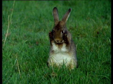 Rabbit sits in green grass grooming. Rubs paws together and then rubs face,