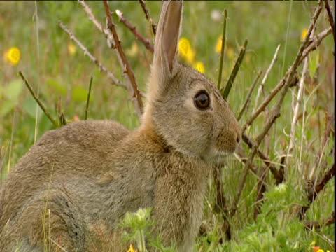 rabbit sits in meadow - ranunkel stock-videos und b-roll-filmmaterial
