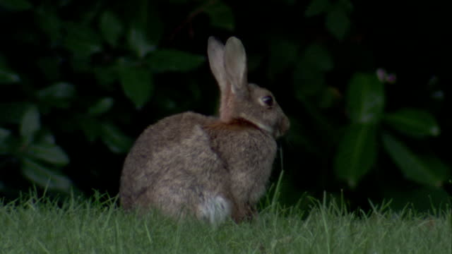 A rabbit twitches its ears as it sits in a field of green grass. Available in HD.