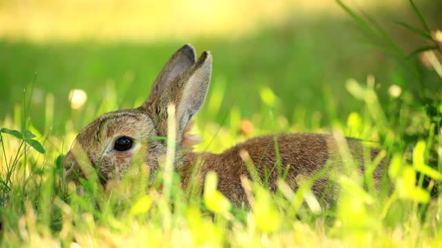 stockvideo's en b-roll-footage met rabbit - cottontail
