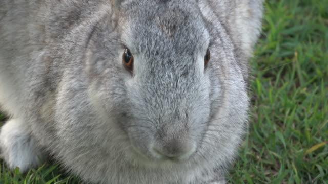 rabbit - gray color stock videos & royalty-free footage