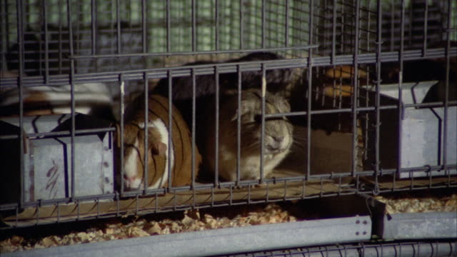 ms pan rabbits and guinea pigs in cages - petshop stock videos and b-roll footage
