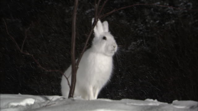 rabbits at sarobetsu national park in hokkaido - national park stock videos & royalty-free footage