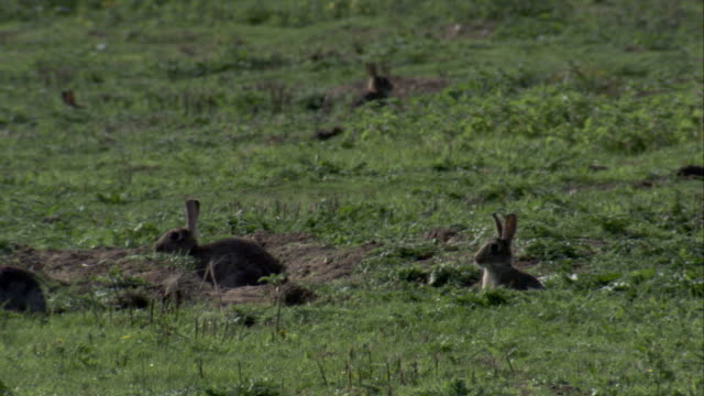 Rabbits hop in and out of their burrows in the countryside. Available in HD.