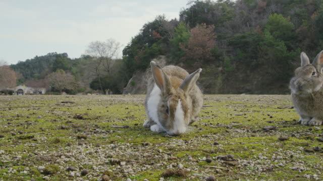 rabbits in okunoshima island - rabbit animal stock videos & royalty-free footage
