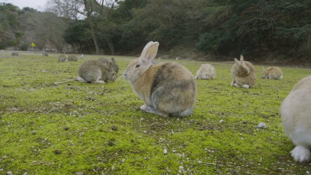 Rabbits in Okunoshima Island
