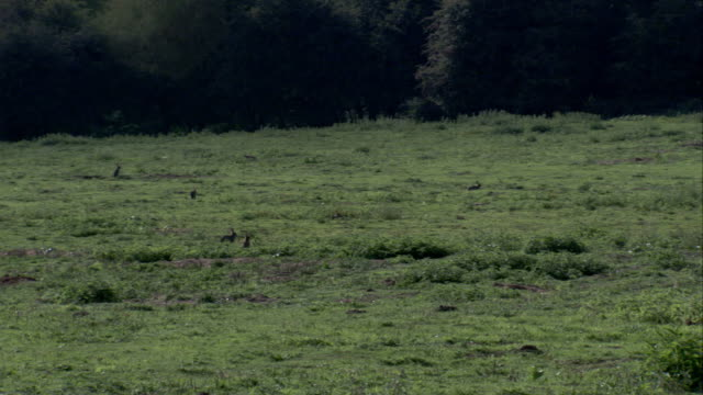 vidéos et rushes de rabbits run through a meadow in the english countryside. available in hd. - lapin