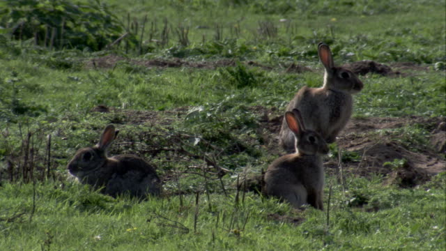 vidéos et rushes de rabbits sit in the english countryside. available in hd. - lapin