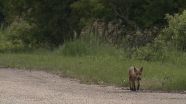 rabiat fox - rabies bildbanksvideor och videomaterial från bakom kulisserna