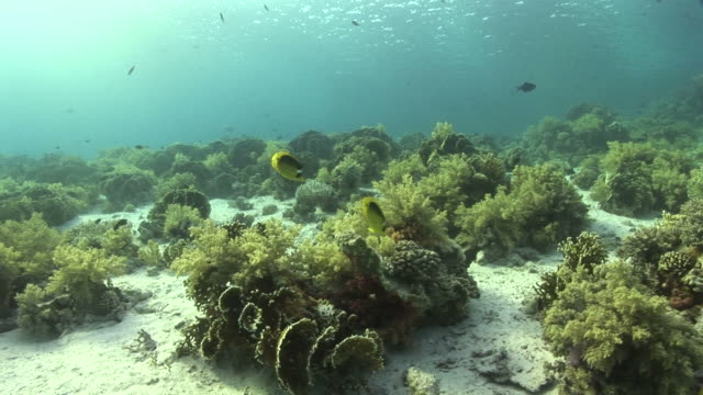 raccoon butterflyfish (chaetodon fasciatus). coral reef. red sea - butterflyfish stock videos & royalty-free footage